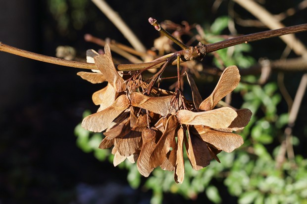 Winged seeds hanging from a European sycamore tree, close up. Autumn in Surrey, UK.