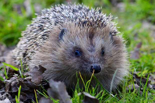 British hedgehog guide: where to see and how to help