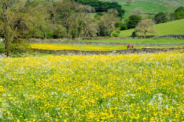 A hay meadow in Austwick in the Yorkshire Dales.