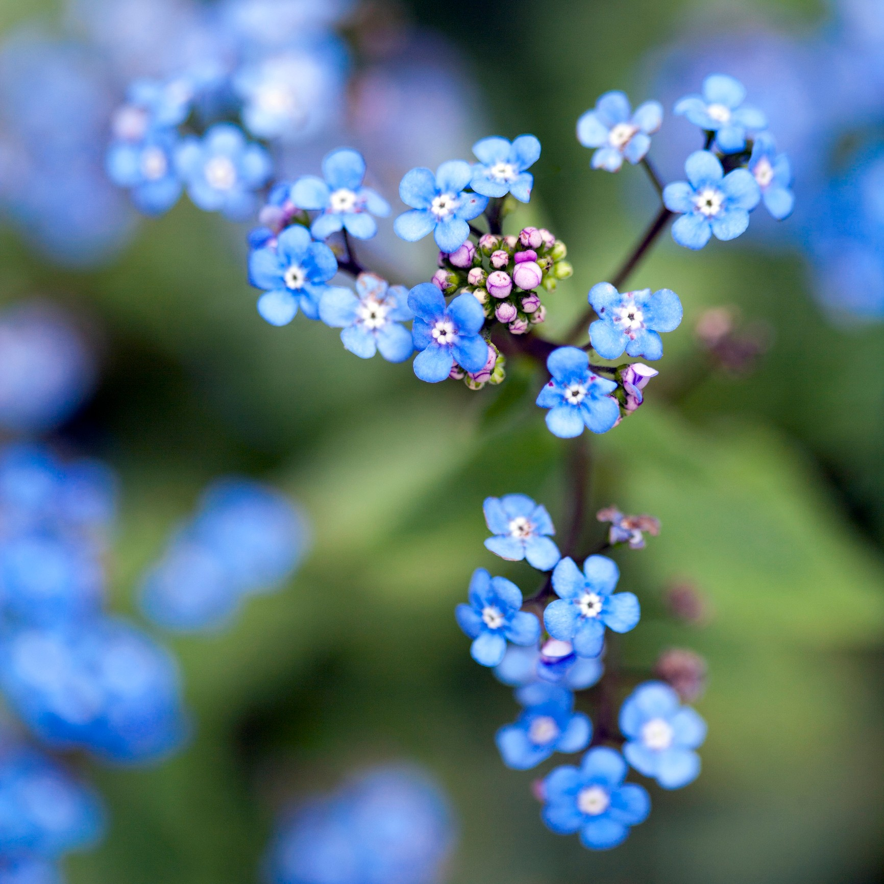 Close up of tiny blue forget-me-not flowers on branch