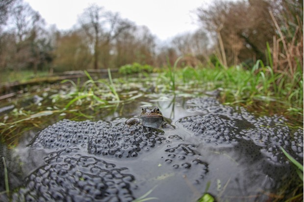 A common frog sits and waits for a mate to spawn with in a Somerset pond.
