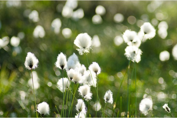 beautiful white tufts in a marsh landscape during the early summer. Eriophorum vaginatum