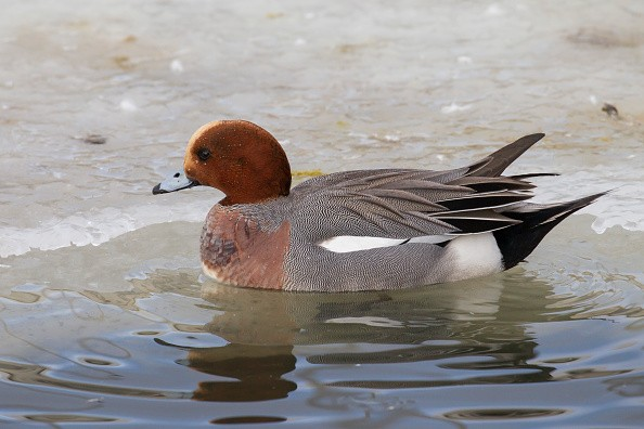 Wigeon winter on the river