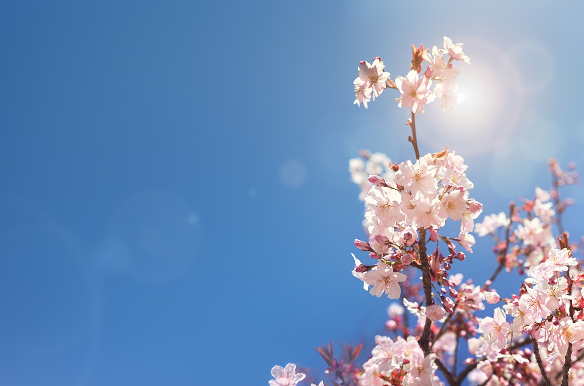 Cherry blossom tree spring background with copy space