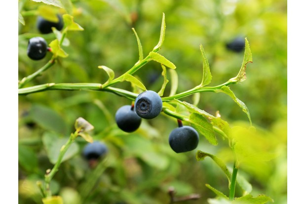 Blueberry bush with ripe blueberries in nature