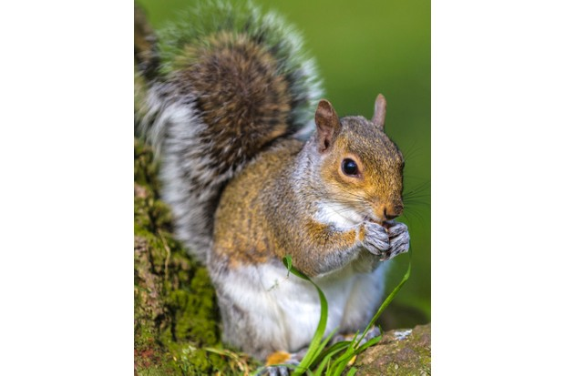 Grey squirrel at bottom of a tree in a London Park.