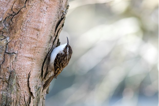A Treecreeper (Certhidae) climbing on a tree trunk