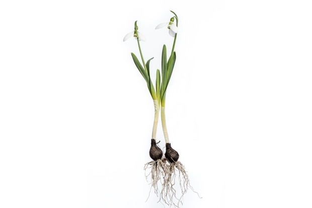 Snowdrops with roots and bulb isolated on white.