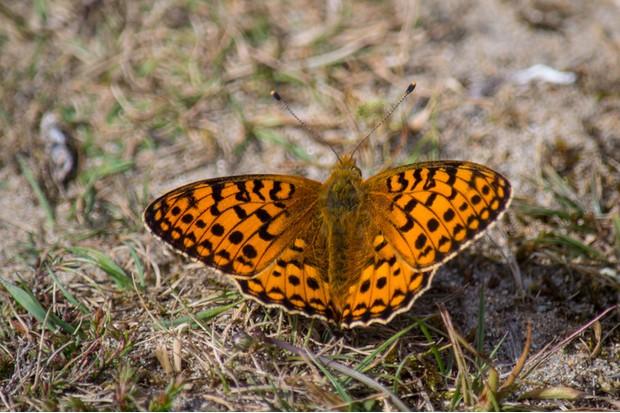 A dark green fritillary butterfly on a sandy path at Murlough Nature Reserve.