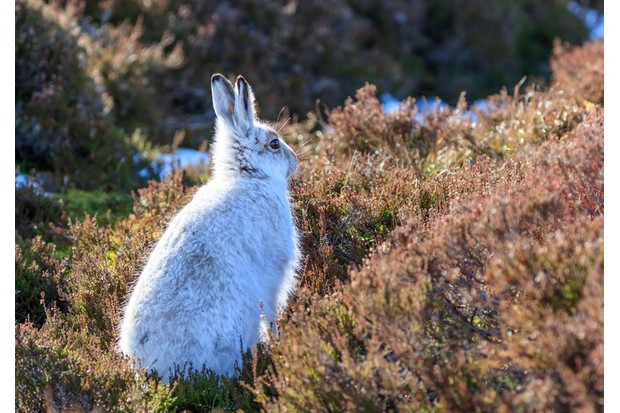 white mountain hare (lepus timidus) seen in Scotland in the mountains, turns white during the winter