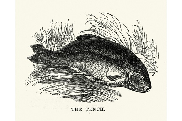 Vintage woodcut illustration of Tench fish