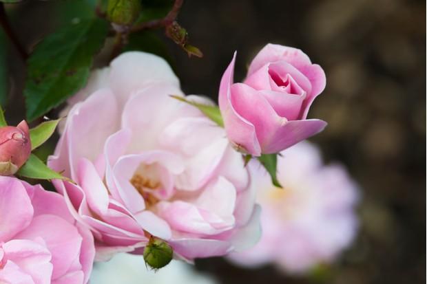 Pink rose starting to bloom