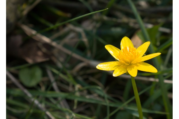Yellow Lesser Celandine flower in English countryside with space for copy or text.