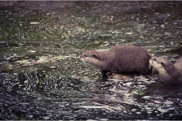 Otters By River