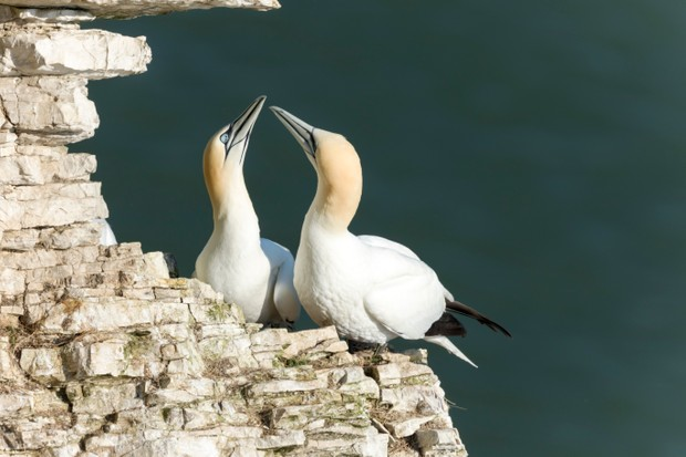 Bempton Cliffs, UK - April 9th, 2017 : Courting Gannets at the RSPB Nature Reserve at Bempton Cliffs.