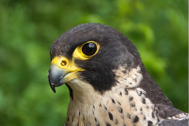 Close-Up Of Peregrine Falcon