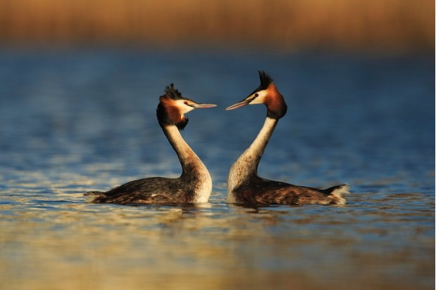 Great Crested Grebe (Podiceps cristatus) courtship dance Cardiff, UK