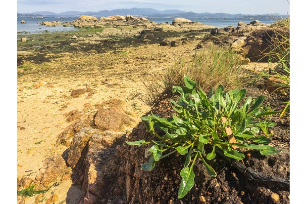 Sea chard or beet Beta vulgaris subsp. maritima growing on the coast of Galicia, Spain