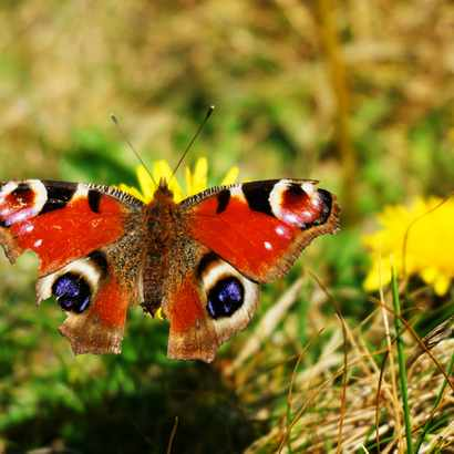 A red and blue butterfly has landed on a yellow dandelion flower against a grassy background