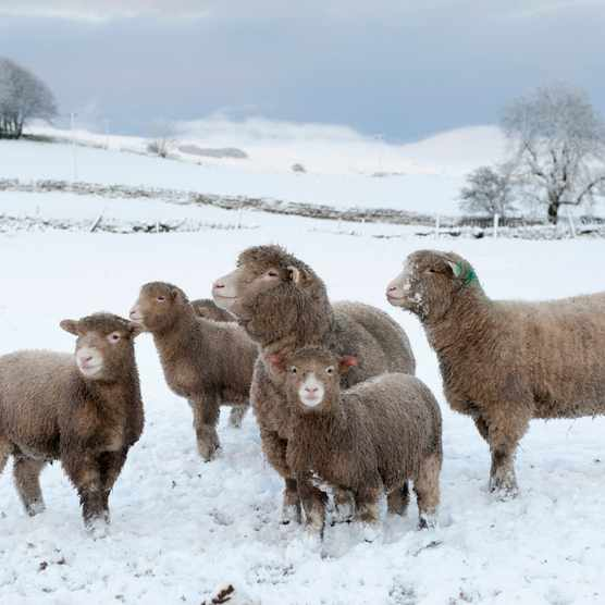 Poll Dorset sheep, Wensleydale, North Yorkshire