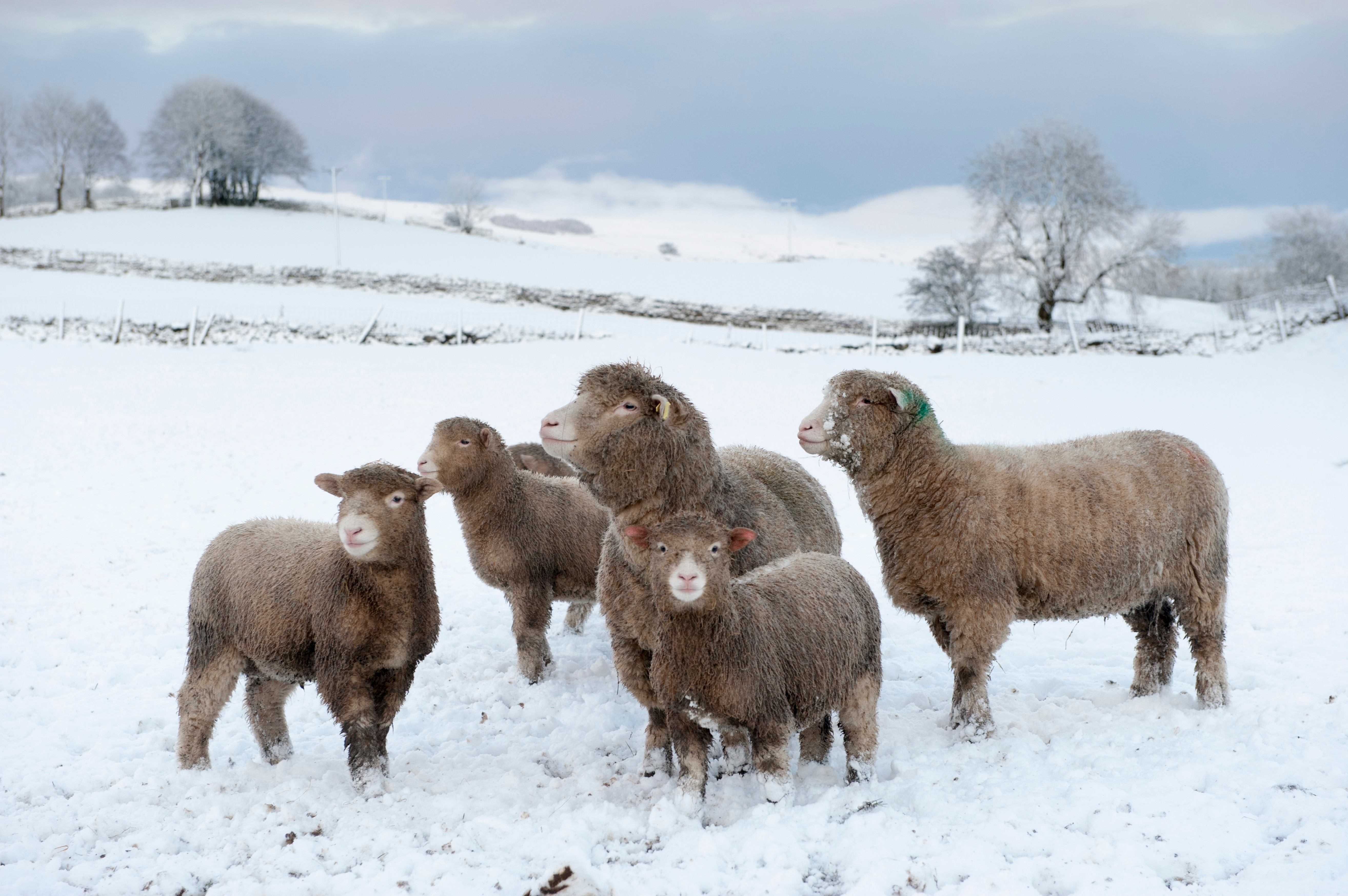 Poll Dorset sheep and their lambs braving the winter conditions, Wensleydale, UK. (Photo by: Wayne Hutchinson/Farm Images/UIG via Getty Images)