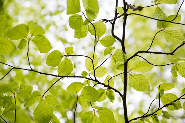 Zesty green beech tree leaves shot from below in spring. white light above