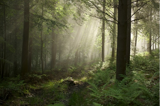 Chevin Forrest in the morning mist as the light dances through the tree tops.