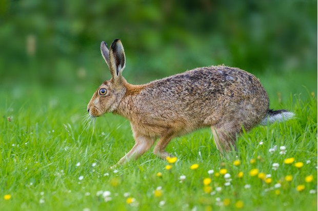 Guide To Rabbits And Hares Countryfile Com
