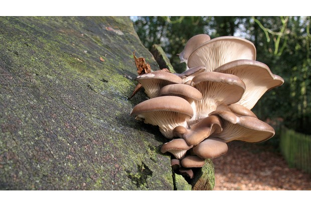 A cluster of pale brown fungi resembling oyster mushrooms grows on the trunk of a tree in a London public park.