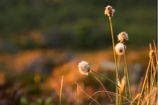 closeup cottongrass soft light