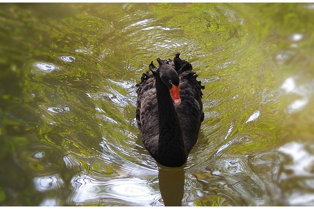 Elegant black swan lake enjoying in the water