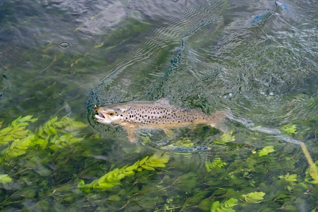 Brown trout in river test jumping for fishing fly