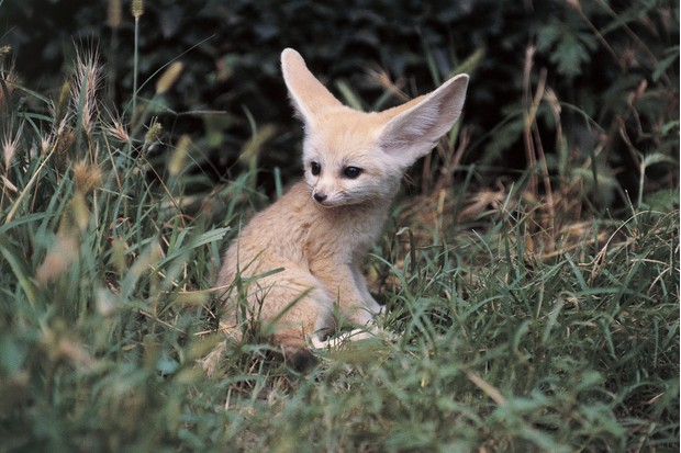 Close-up of a Fennec fox (Vulpes zerda)