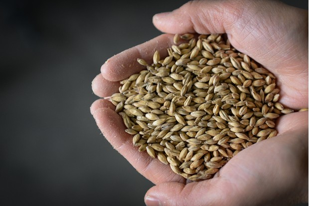 A worker displays malt barley for a photograph in Japan.