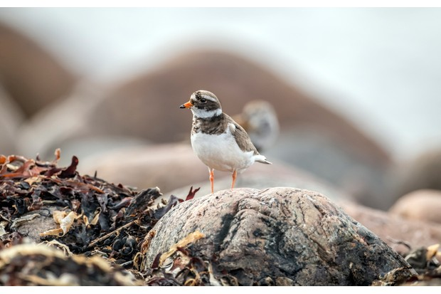 Ringed plover standing a rock on the beach, close up