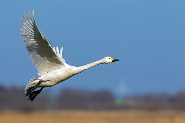 Look out for Berwick's swans in the winter months