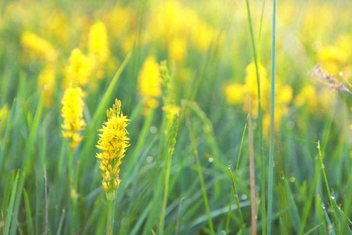 bog asphodel flower close up outdoors