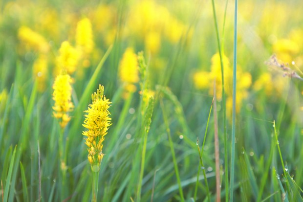 bog asphodel flower close up outdoors
