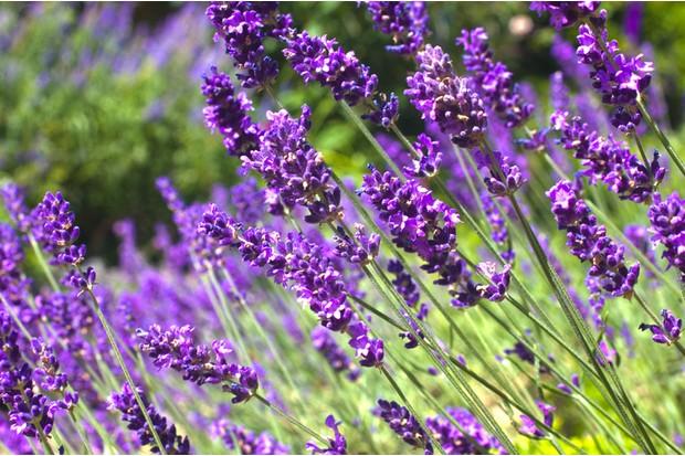 Bright purple lavender in full bloom in the garden, summertime, England.