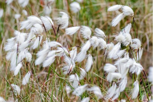 Common Cottongrass Cottonsedge or Bog Cotton (Eriophorum angustifolium)