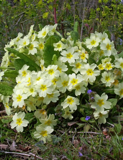 Single flowering primrose (Primula vulgaris) plant in spring woodland with a background of vegetation.