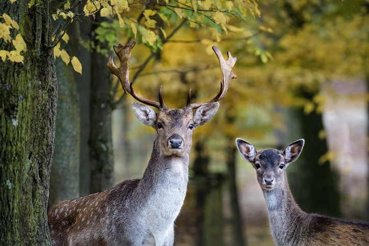 A young fallow deer and its father looking into the camera in the forest