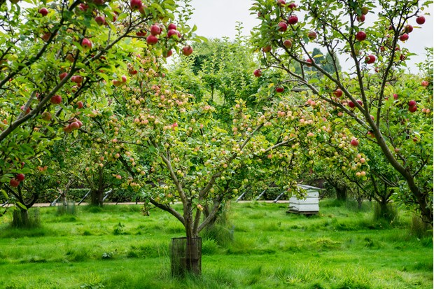 Apple trees  in the park during Autumn, England, UK