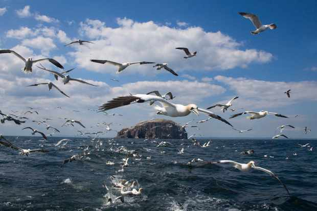 Gannets (Morus bassanus) in flight, following fishing boat off Bass Rock, Firth of Forth, Scotland, United Kingdom, Europe