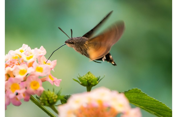 Closeup of a Hummingbird hawk-moth hovering over a lantana flower