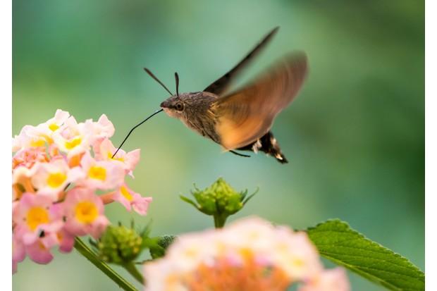 Closeup of a Hummingbird hawk-moth hovering over a lantana flower