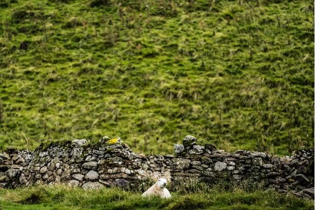 A cheviot sheep grazes next to stone dyke shelter at the bottom of a steep fell side.