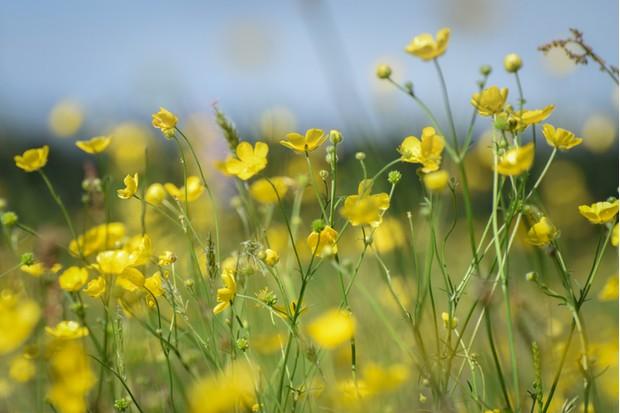 Welsh meadow in early summer