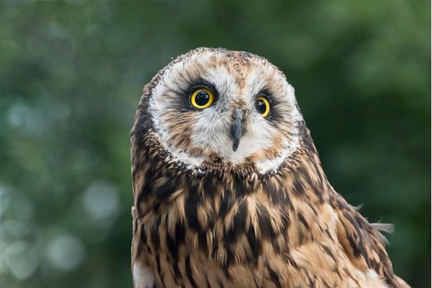 Short eared owl (Asio flammeus)