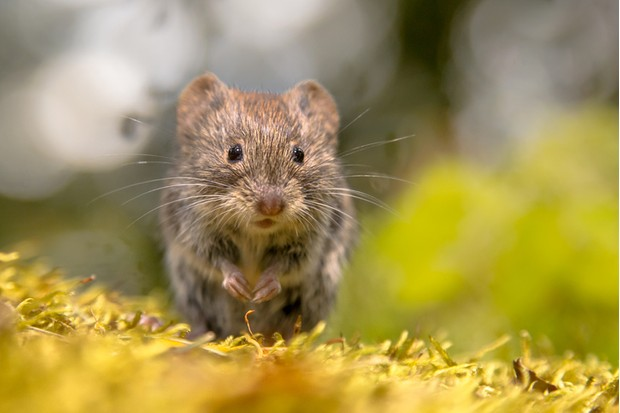 Frontal view of cute Bank vole (Clethrionomys glareolus) mouse looking in the camera